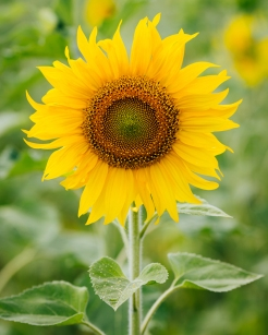 6-11_Meaning-of-Sunflowers_Images